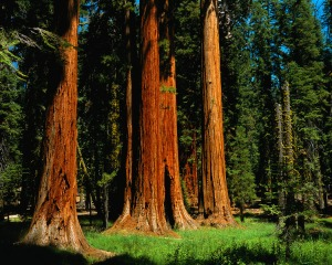 Redwoods in Sequoia National Park