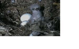 eagel babies