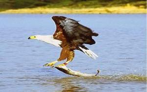 eagle african fish eagle