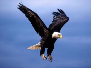 eagle  coming