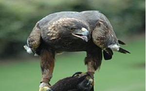 Eagle Odyssey- golden eagle