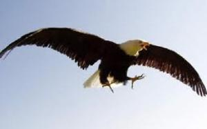 young eagle learning to fly