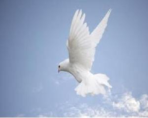white dove 2