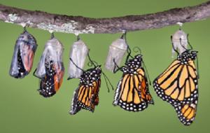 metamorphosis butterfly