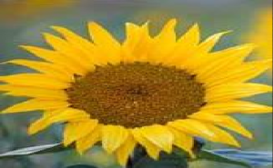 work of your fingers sun flower