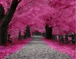 spring chrry blossom4