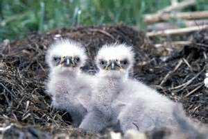 eagle babies