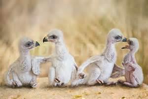 eagle babies2