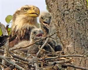 eagle babies3